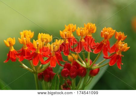 Red and Yellow Milkweed Isolated on Green Background