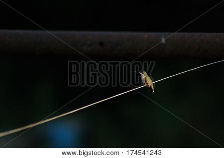 Isolated Humming Bird Sitting on Clothes line on black background