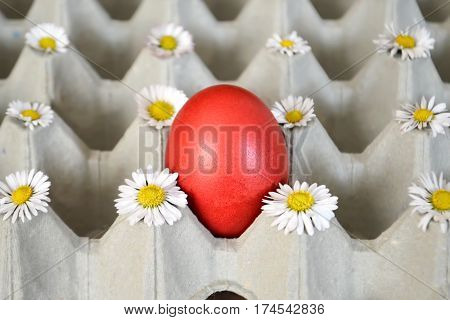 Red Easter egg and daisies in egg box