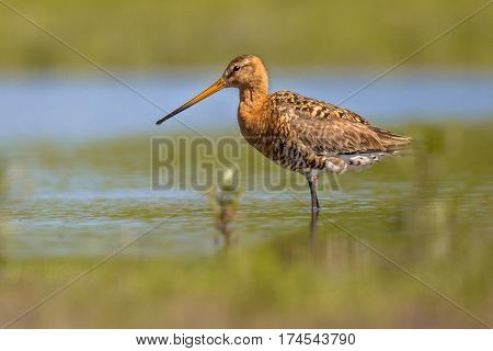 Black-tailed Godwit Wader Bird Standing In Water