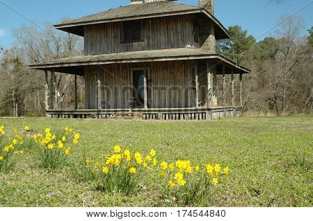 Old Wood Homestead with Jonquils in front yard