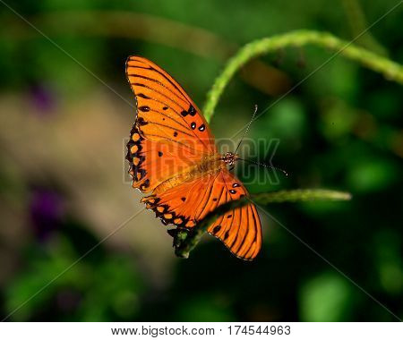 fritillary butterfly resting on a flower stem