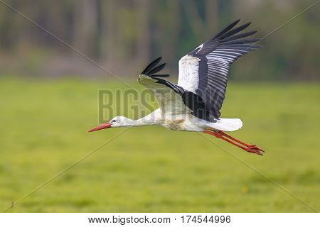 Flying Stork With Green Grassland Background