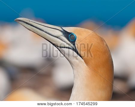 Head Of Gannet Looking Up In Colony New Zealand