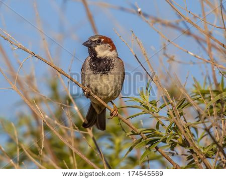 House Sparrow Subspecies Biblicus Is Resident On Cyprus