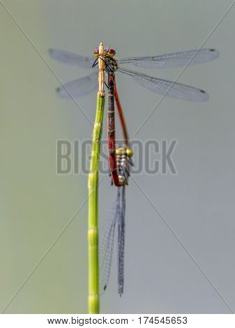 Large Red Damselfly Copula