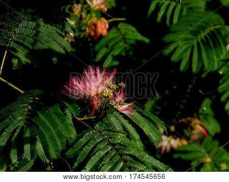 Mimosa Tree With Blooms and Green Leaves
