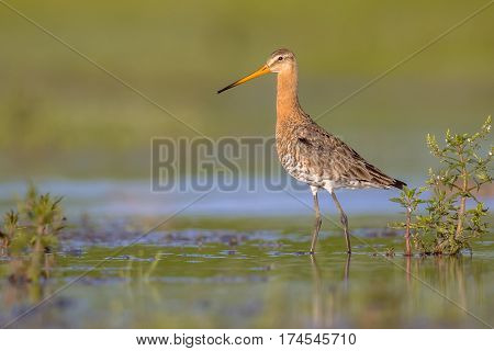 Majestic Black-tailed Godwit Wader Bird Majestically Walking Looking In The Camera