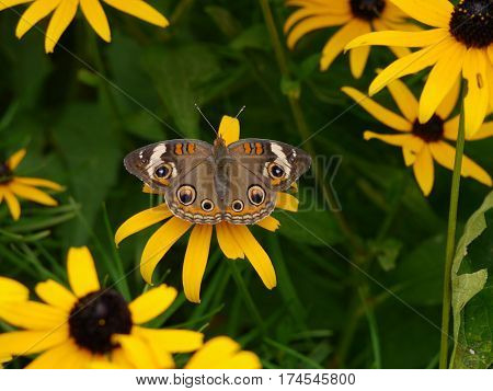 Common Buckeye Butterfly Resting on Brown Eyed Susan Flower