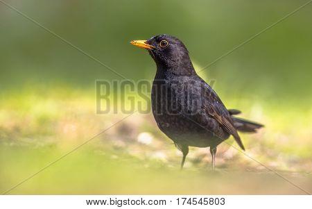 Male Blackbird In Green Backyard