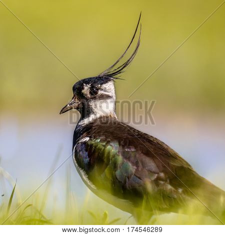 Portrait Of Northern Lapwing In Grassland Habitat