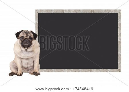 sweet cute pug puppy dog sitting down next to blank blackboard sign isolated on white background