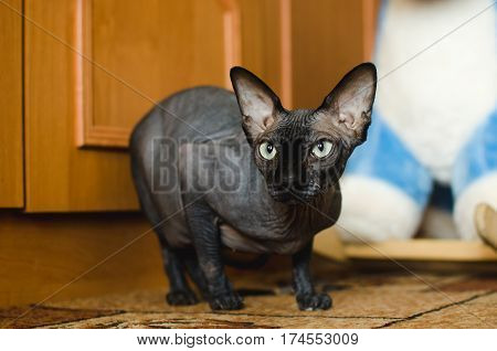 Bald Sphinx cat in the apartment hunt looking into the distance