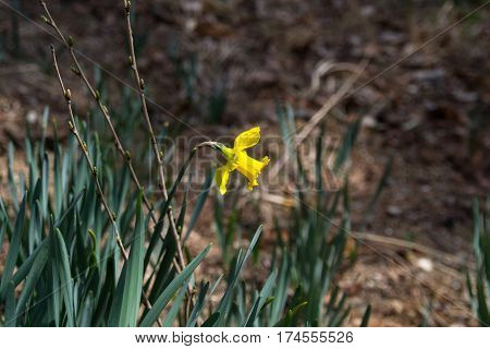 Narcissus pseudonarcissus flower close up with grass background