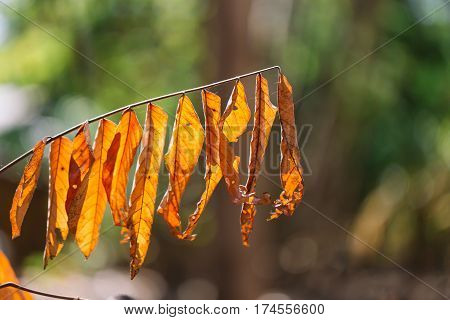 Dry Leaves On Trees, Autumn Leaves With Sunlight And Bokeh In Summer Season.