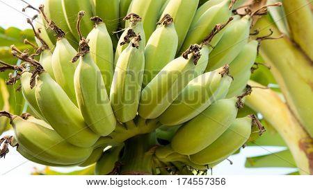 Fresh bananas Banana is idiom of easy as pie