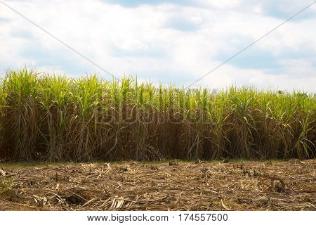 Sugarcane and Used for sugar of thailand