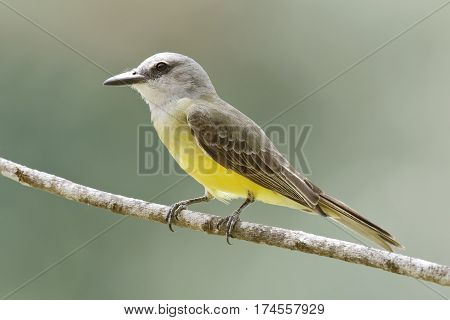Tropical Kingbird (tyrannus Melancholicus) Perched On A Branch - Gamboa, Panama