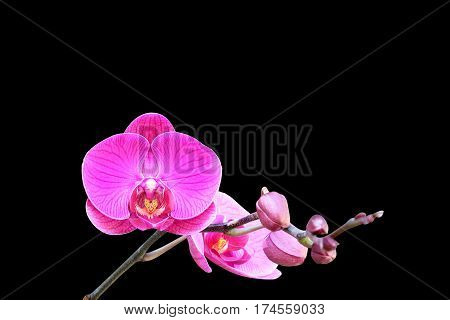 Pink orchid isolated on black background .