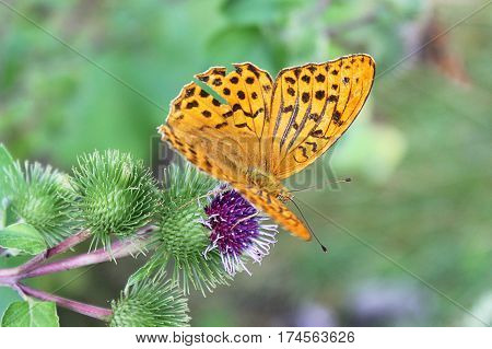 summer, yellow butterfly flew on prickly flower