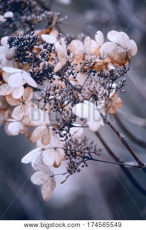 Beautiful Dried Hydrangea Hortensia Flowers Cross Processed For Vintage Look