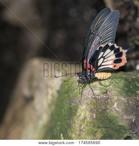 Beautiful Common Mormon Papilio Polytes Butterfly In Rose Mimicry Mode