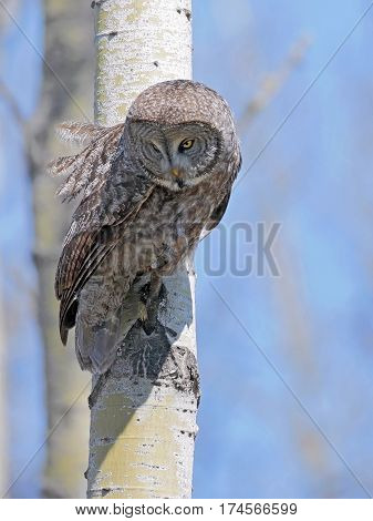 Great Gray Owl sitting in tree hunting in daytime looking down.