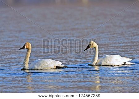 Tundra Swan mature bird with young adult swimming together on lake soft evening sunlight.