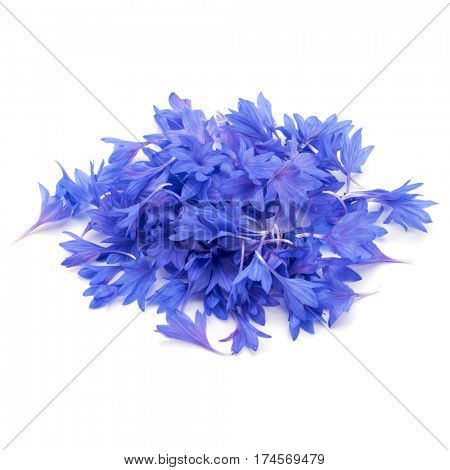 Blue Cornflower Herb or bachelor button flower petals isolated on white background cutout