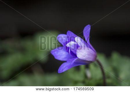 Stunning Blue Wildflower Anemone Blande Flower In Spring Forest