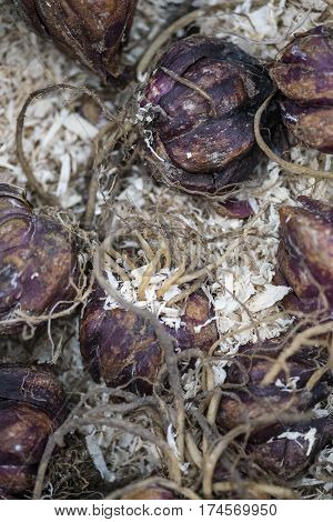 Box Of Lily Lilium Regale Bulbs Ready To Be Planted In Spring