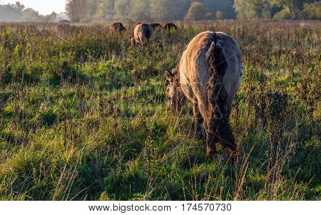 Backside of an Icelandic horse with the tail full of thistle burdocks grazing in a Dutch nature reserve. It is the end of a sunny autumn day.