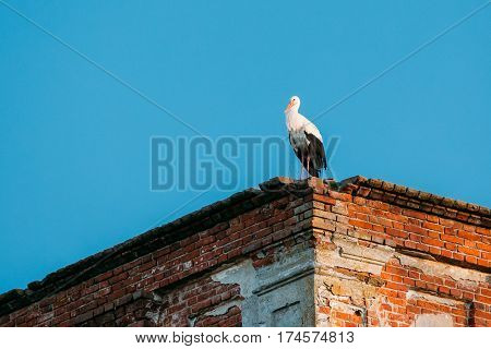 Adult European White Stork Standing On Wall Of Old Ruined Orthodox Church