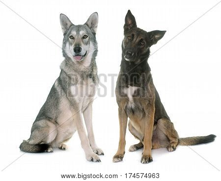 belgian shepherd malinois and wolf dog in front of white background