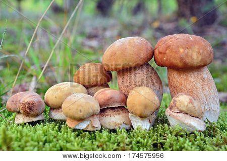 boletus retiulatus and edulis mushrooms in the forest
