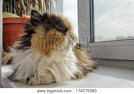 The shaggy cat of the Persian breed of the house looks out of the window. Cat three-colored: yellow black white. Lies on a window sill. Indoors. Horizontal format. Color. Photo.