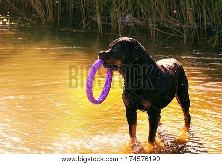 Large dog breed rottweiler standing in the water and holding a toy hoop.