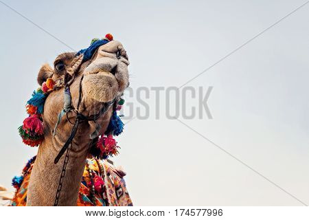 Head Of The Camel With Open Eyes, Close-up, Portrait, Egypt