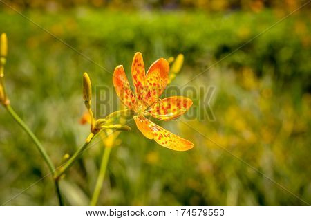 yellow pride of barbados flower blossoms with blue sky