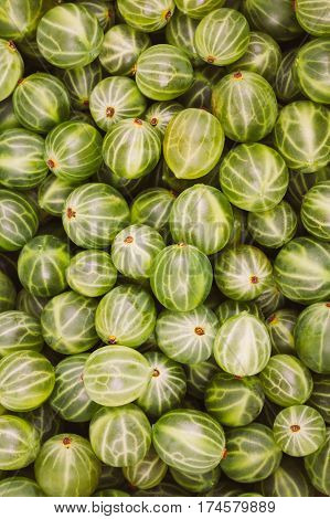 Green Organic Berries Gooseberries. Ripe Gooseberry Background. Greenery, Green: Pantone Color - Trend 2017
