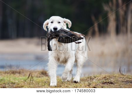 hunting golden retriever dog carrying a duck