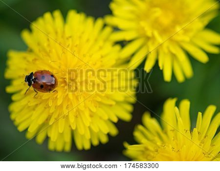 Cute little ladybug on the dandellion flowers over green background
