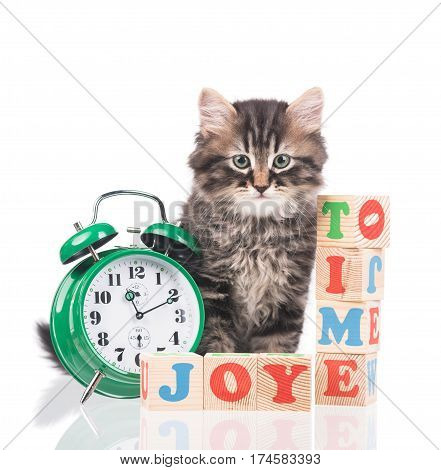 Cute siberian kitten with alarm clock ready for fun isolated over white background