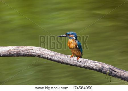 natural male common kingfisher (Alcedo atthis) sitting on branch in sunlight