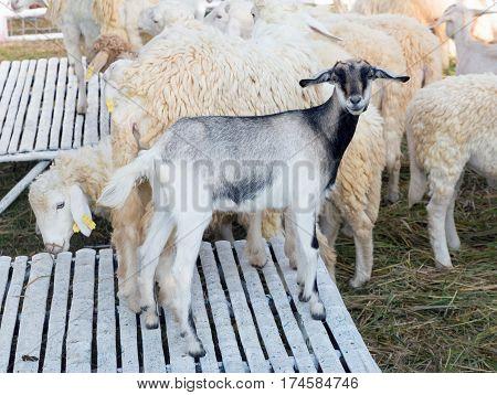 sheep in farm,  sheep and dorset in farm