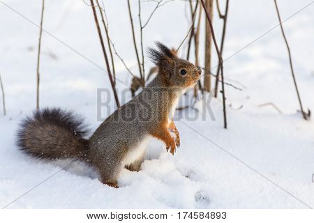 curious squirrel standing on the snow closeup