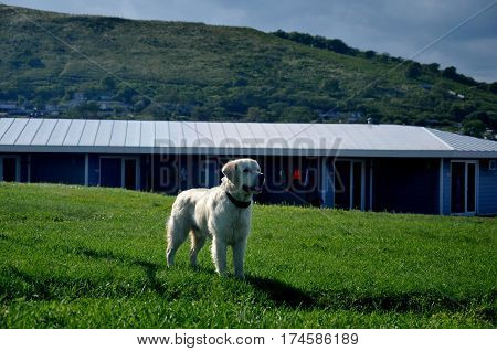 Big and strong Golden Retriver walk at the glade