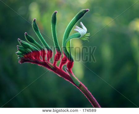 Flowers - Kangaroo Paw