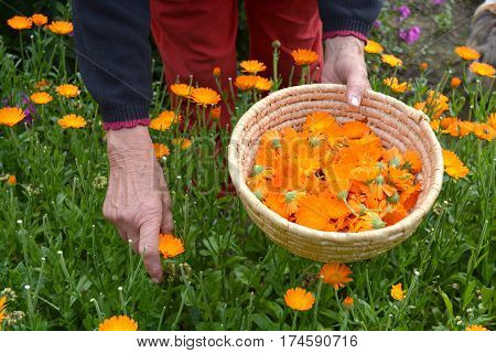 senior woman gardener herbalist hands picking gathering fresh marigold calendula medical flowers