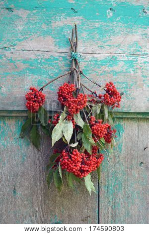 European Red Elder Sambucus racemosa berry bunch on old wooden used wall in farm
